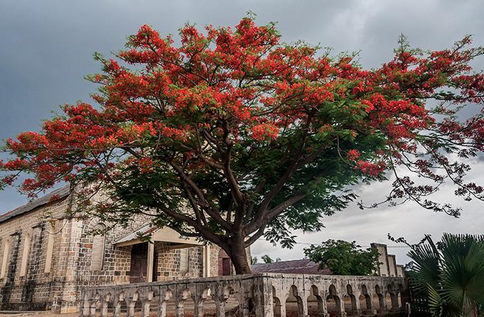 Ambilobe Tree