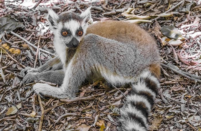 Isalo National Park Lemur
